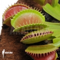 L'attrape-mouche de vénus 'Dionaea muscipula 'Short teeth'
