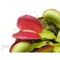L'attrape-mouche de vénus 'Dionaea muscipula 'Space'