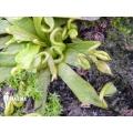 L'attrape-mouche de vénus 'Dionaea muscipula 'Spaghetti''