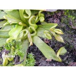 Dionaea muscipula 'Spaghetti'