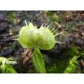 L'attrape-mouche de vénus 'Dionaea muscipula spiderman'
