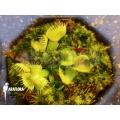 L'attrape-mouche de vénus 'Dionaea muscipula spiderman starter'