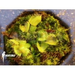 Dionaea muscipula 'Spiderman' Starter