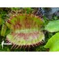 L'attrape-mouche de vénus 'Dionaea muscipula 'Spotify''
