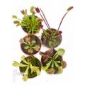L'attrape-mouche de vénus Dionaea muscipula 'Starter 5 Package'