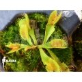 L'attrape-mouche de vénus 'Dionaea muscipula 'Tremor' starter'