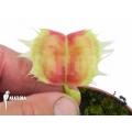 L'attrape-mouche de vénus 'Dionaea muscipula 'Trump''