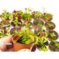 L'attrape-mouche de vénus Dionaea muscipula 'Venusflytrap 20 Starter Collection Package'