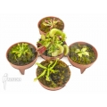 L'attrape-mouche de vénus Dionaea muscipula 'Venusflytrap 5 Rare Trap Collection Package'