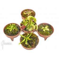 Dionaea muscipula Venusflytrap5 Rare Trap Collection Starter Package