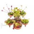 L'attrape-mouche de vénus Dionaea muscipula 'Venusflytrap 8 Starter Collection Package'