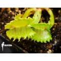 L'attrape-mouche de vénus 'Dionaea muscipula 'Werewolf'