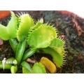 L'attrape-mouche de Vénus Dionaea muscipula 'Werewulf Ara'