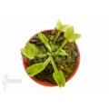 L'attrape-mouche de vénus 'Dionaea muscipula 'Werewolf' 'Starter''