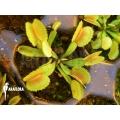 L'attrape-mouche de vénus 'Dionaea muscipula 'Whale' starter