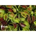 L'attrape-mouche de vénus motte 'Dionaea muscipula' 'Starter plant'