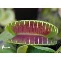 L'attrape-mouche de vénus 'Dionaea muscipula 'Jaws smiley' starter'