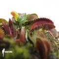 L'attrape-mouche de vénus 'Dionaea muscipula 'Red piranha' starter