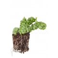 "Plante myrmécophyte 'Dischidia nummularifolia ""Dragon Jade""  'Starter''"