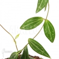 Plante myrmécophyte 'Dischidia ovata'