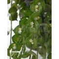 Plante myrmécophyte 'Dischidia ruscifolia'