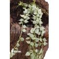Plante myrmécophyte 'Dischidia ruscifolia variegata'