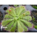 Rossolis 'Drosera admirabilis' 'Starter'