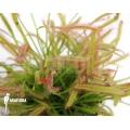 Rossolis 'Drosera capensis'