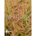 Rossolis 'Drosera capensis 'L'