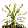 Rossolis 'Drosera capensis 'Wide leaf'