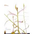 Rossolis 'Drosera cistiflora'