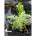 Rossolis 'Drosera cistiflora' Starter'