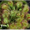 Rossolis 'Drosera rotundifolia'