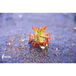 Drosera sessilifolia