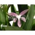 Orchidée 'Encyclia garciana' starter