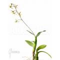 Orchidée 'Epidendrum aviculum'