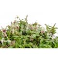 Orchidée 'Epidendrum porpax'