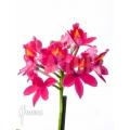 Orchidée 'Epidendrum radicans'