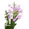 Orchidée 'Epidendrum radicans' 'Pink'