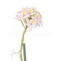 Orchidée 'Epidendrum radicans' 'White-ish'
