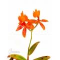 Orchidée 'Epidendrum radicans orange'