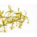 Orchidée 'Epidendrum stamfordianum'