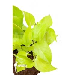 Epipremnum aureum Neon