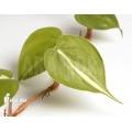 Epipremnum pinnatum 'Araflora liner'