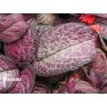 Episcia cupreata 'Pink Smooth'