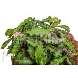 Euphorbia decaryi