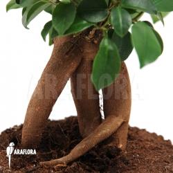 Ficus microcarpa 'Ginseng' (S)
