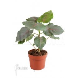 Ficus petiolaris 'Starter'