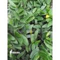 Ficus punctata 'Species panama'