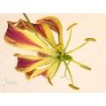 Gloriosa rothschildiana starter